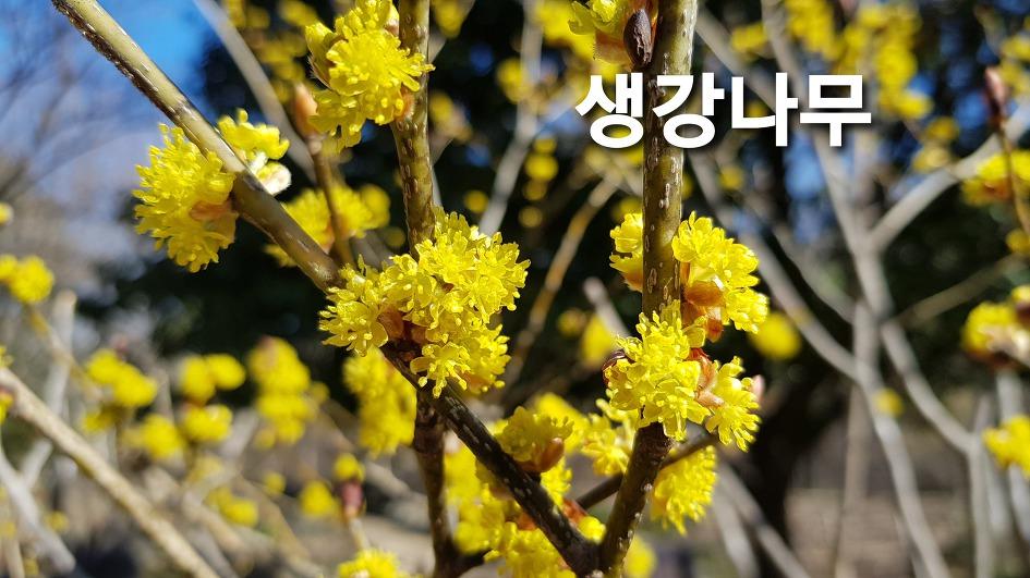 大邱樹木園 - 野草花園に葉をかみに生姜の匂いがして、花の香りが濃い生姜木、花、効能。由来する。