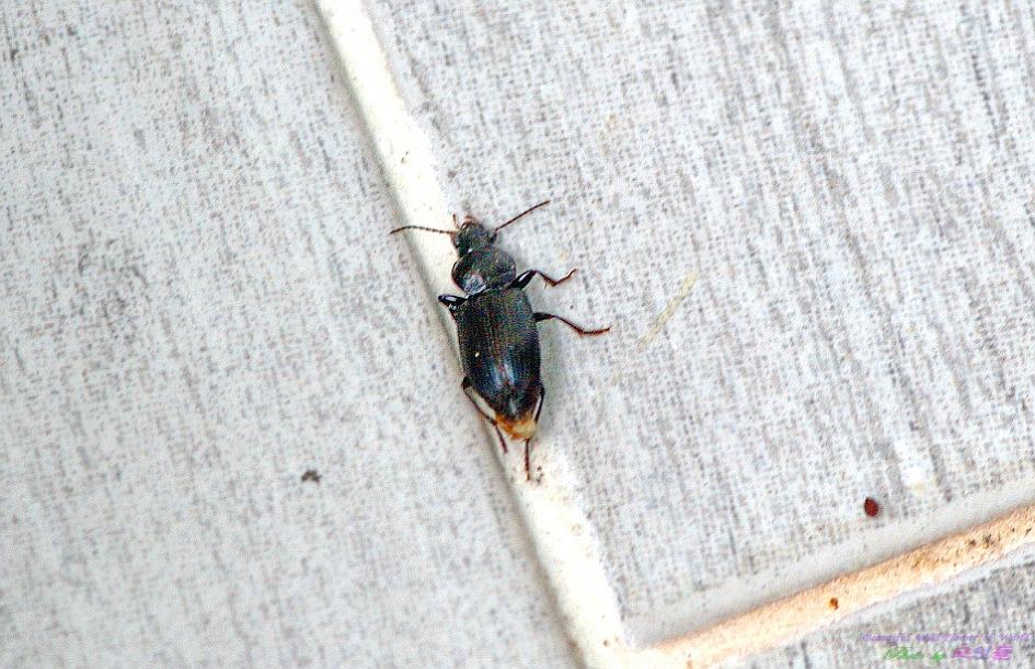 검정가슴먼지벌레